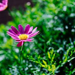 12月の花 その10 マーガレット