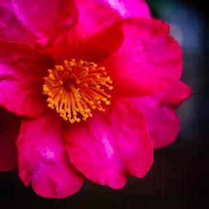 12月の花 その14 サザンカ