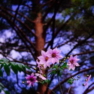 12月の花 その16 皇帝ダリア