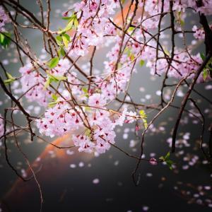 4月の花 その5 枝垂れ桜