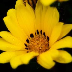 6月の花 その15 ガザニア