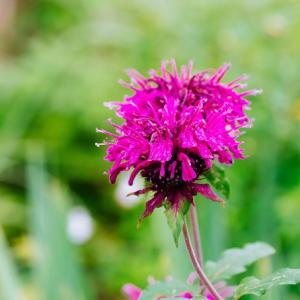 7月の花 その4 ベルガモットの花