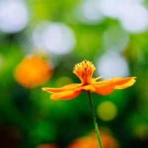 7月の花 その28 キバナコスモス