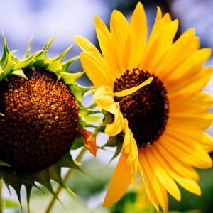 7月の花 その29 ヒマワリ