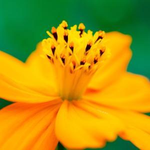 9月の花 その2 キバナコスモス