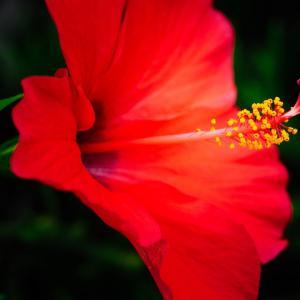 9月の花 その4 ハイビスカス