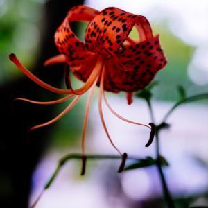 9月の花 その6 オニユリ