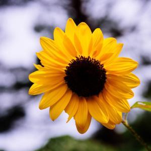 9月の花 その7 ヒマワリ
