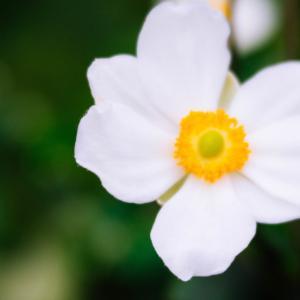 9月の花 その10 シュウメイギク