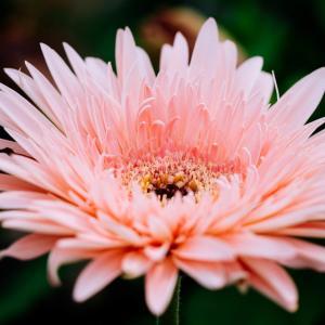 9月の花 その12 ダリア