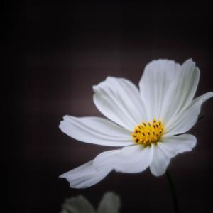 9月の花 その16 コスモス