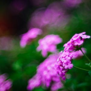 9月の花 その17 コバノランタナ