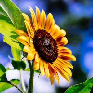9月の花 その18 ヒマワリ