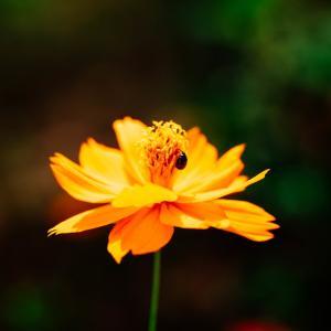 9月の花 その19 キバナコスモス