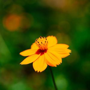 9月の花 その26 キバナコスモス