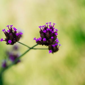 9月の花 その26 ヤナギハナガサ