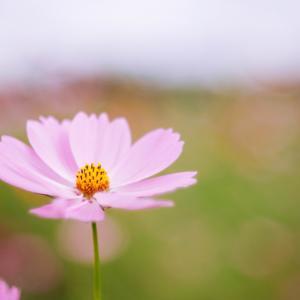 9月の花 その29 コスモス