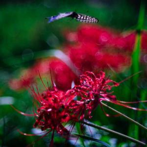 9月の花 その30 ヒガンバナ