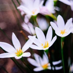 10月の花 その1 タマスダレ
