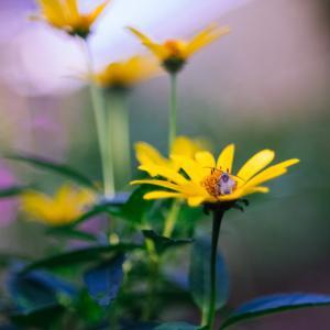 10月の花 その2 ヒメヒマワリ