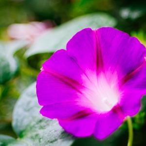 10月の花 その4 アサガオ
