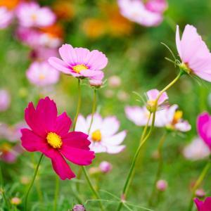 10月の花 その6 コスモス
