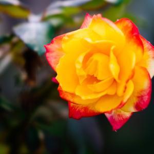 10月の花 その7 バラの花