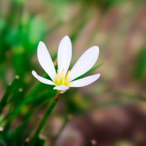 10月の花 その9 タマスダレ