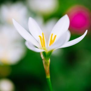 10月の花 その11 タマスダレ