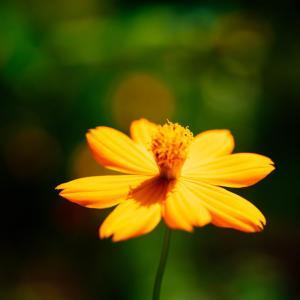 10月の花 その12 キバナコスモス