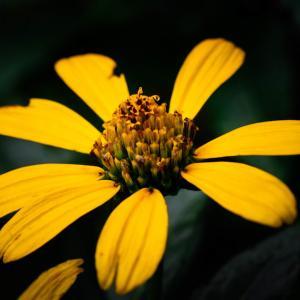 10月の花 その13 ヒメヒマワリ