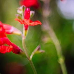 10月の花 その17 チェリーセージ