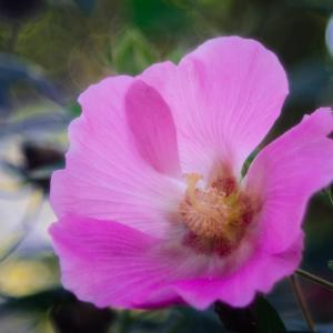 10月の花 その18 フヨウ