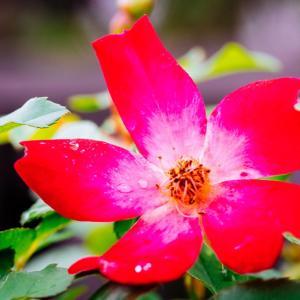 10月の花 その25 バラの花