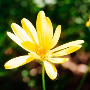 1月の花 その20 ユリオプスデージー