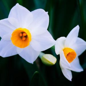 1月の花 その25 スイセン