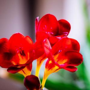 5月の花 その18 フリージア