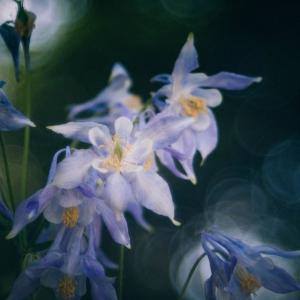 6月の花 その13 西洋オダマキ