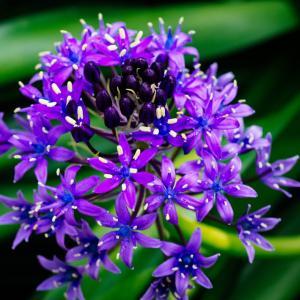 6月の花 その15 シラー