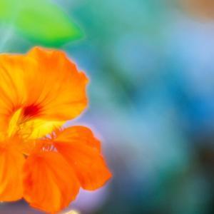 6月の花 その18 ナスタチウム