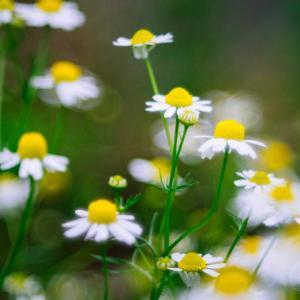 6月の花 その21 カモミール