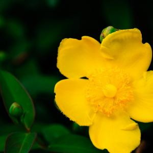 6月の花 その25 ヒペリカム