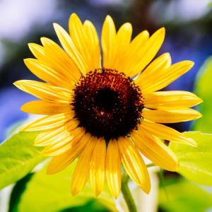 8月の花 その24 ひまわり