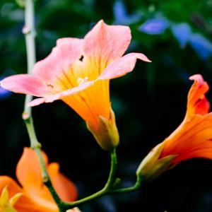 8月の花 その25 ノウゼンカズラ