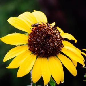 8月の花 その27 ヒマワリ