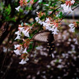 8月の花 その28 アベリア