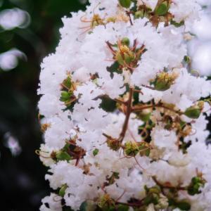 8月の花 その31 サルスベリ