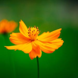 9月の花 その1 キバナコスモス