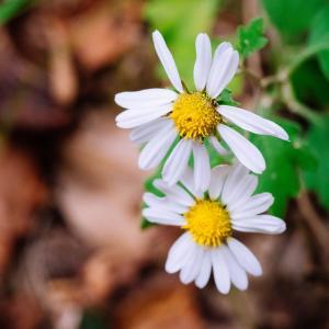 11月の花 その4 キクの花