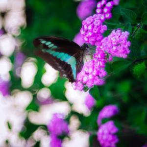 9月の花 その2 ランタナ